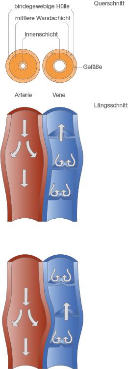 Herzkreislauf-System: Blutgefäßsystem