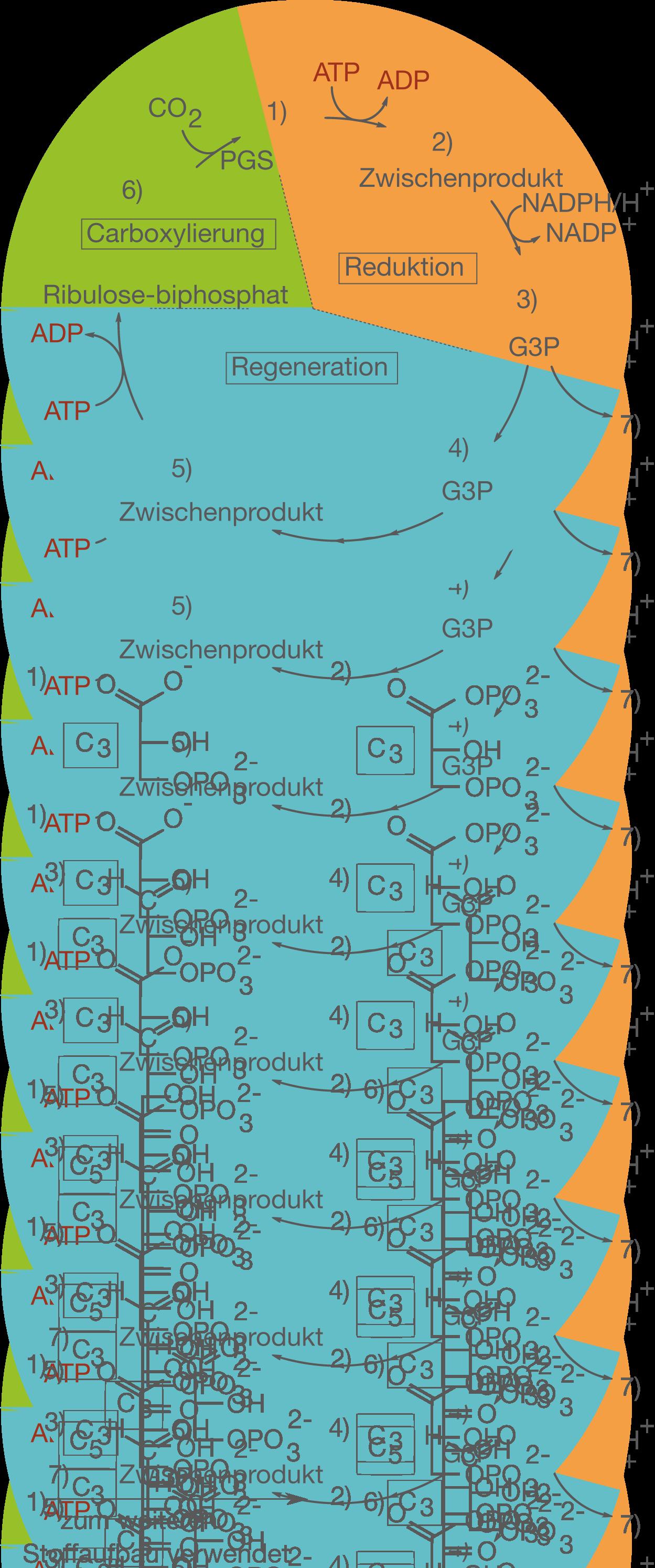 Photosynthese - Stoffwechsel - Bio - Digitales Schulbuch - Skripte ...
