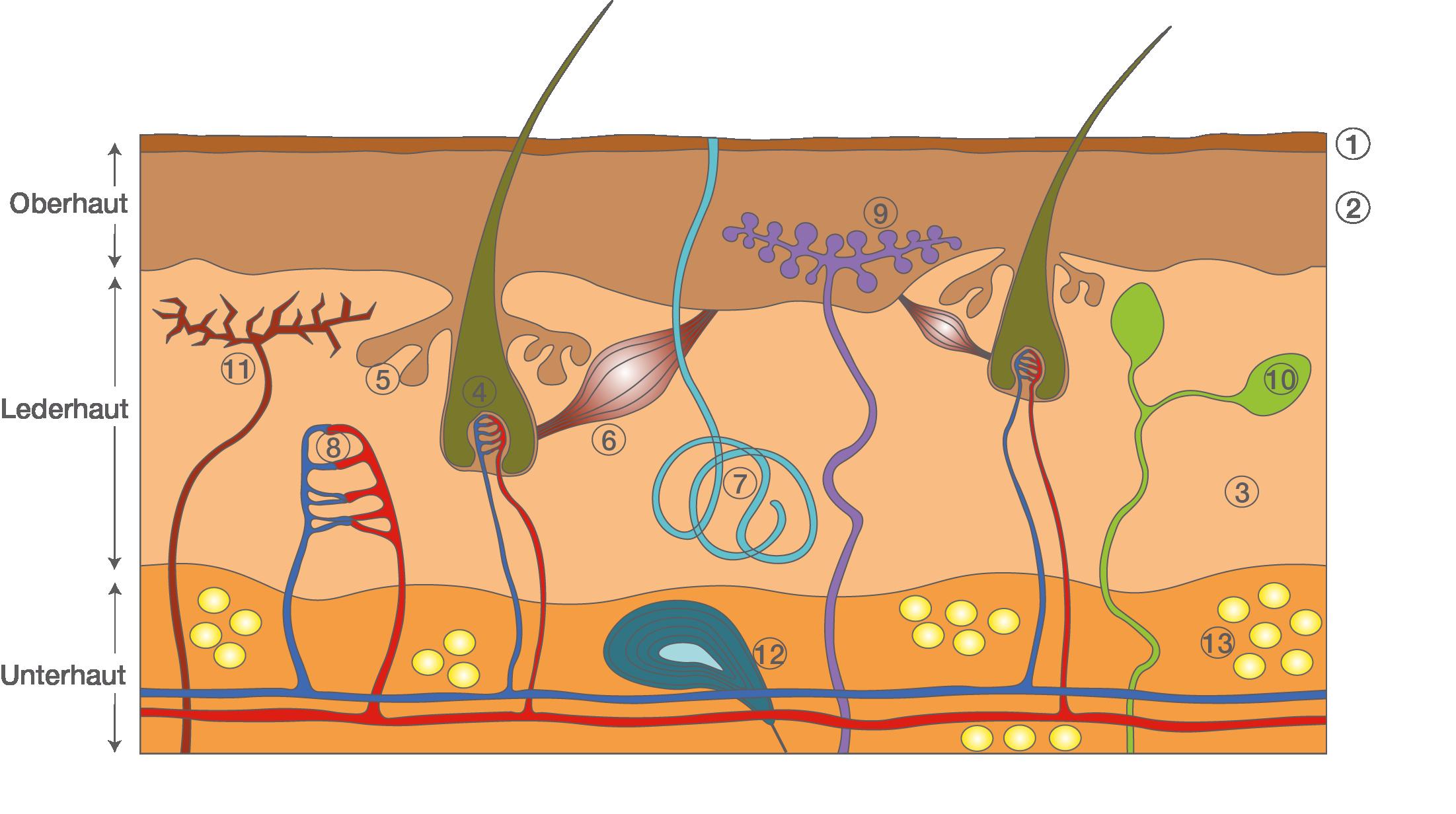 Sinnesorgane: Die Haut