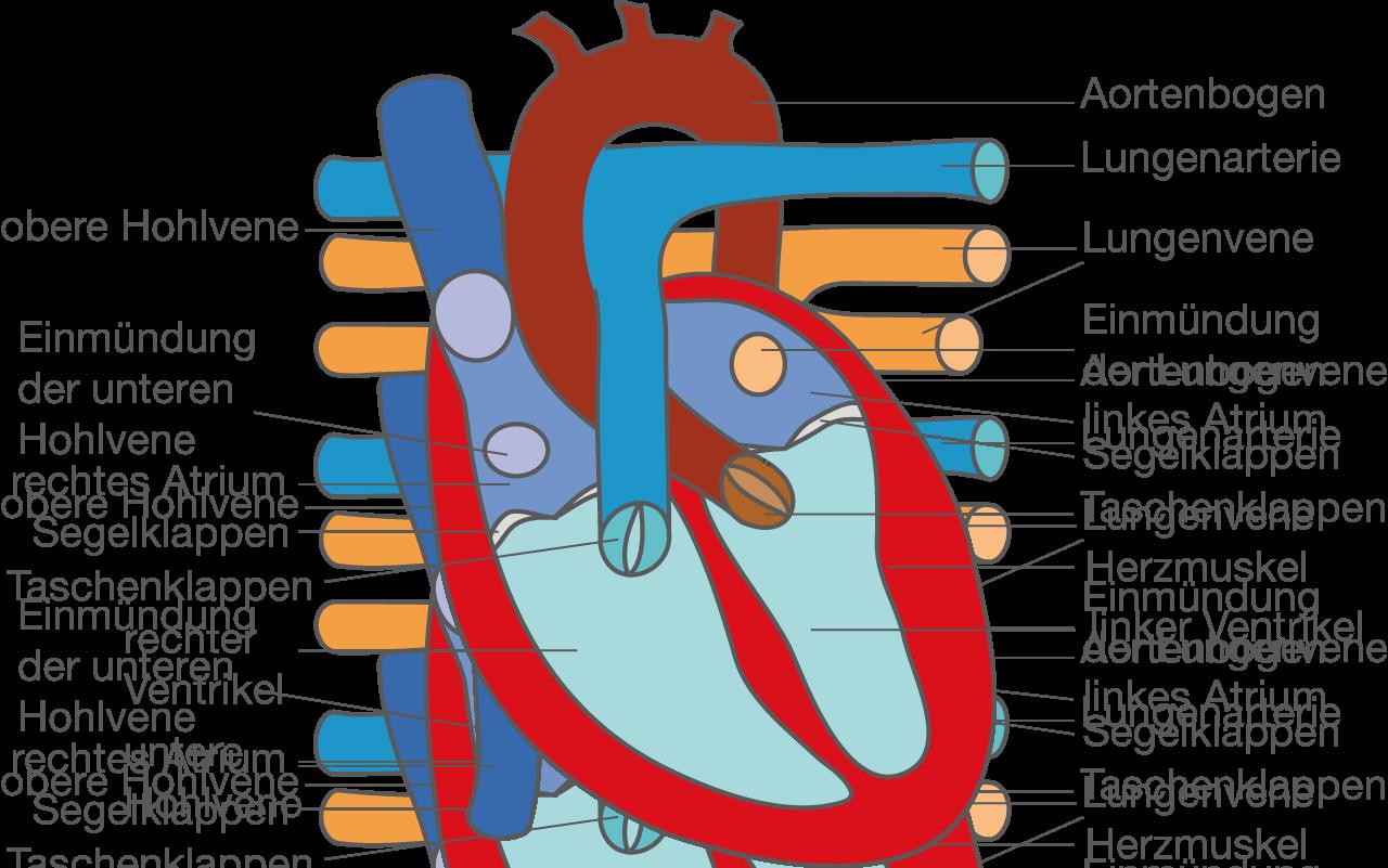 Das Herz - Physiologie - Bio - Digitales Schulbuch - Skripte ...