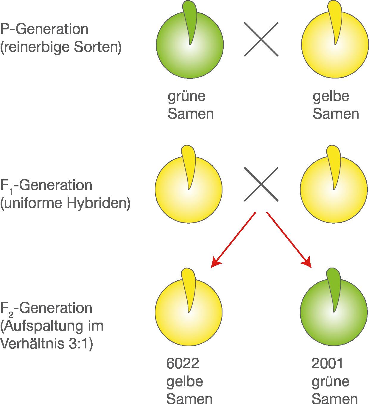 Genetik: Klassische Genetik