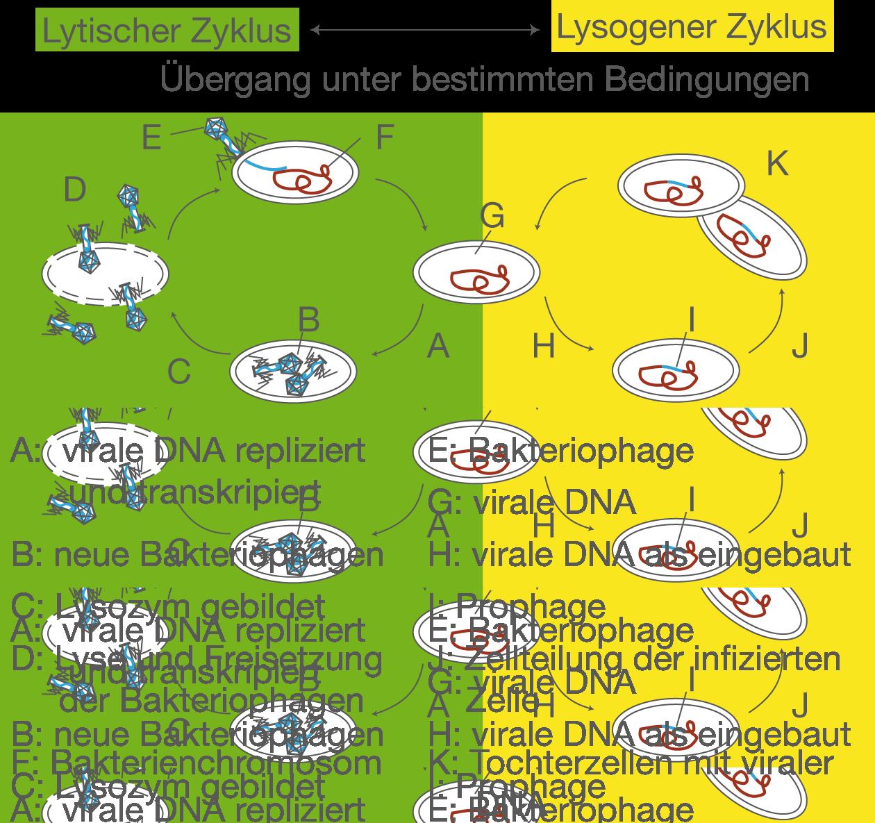 Wie Funktioniert Der Weibliche Zyklus: Gesundheit Und Krankheit: Viren (Digitales Schulbuch Bio