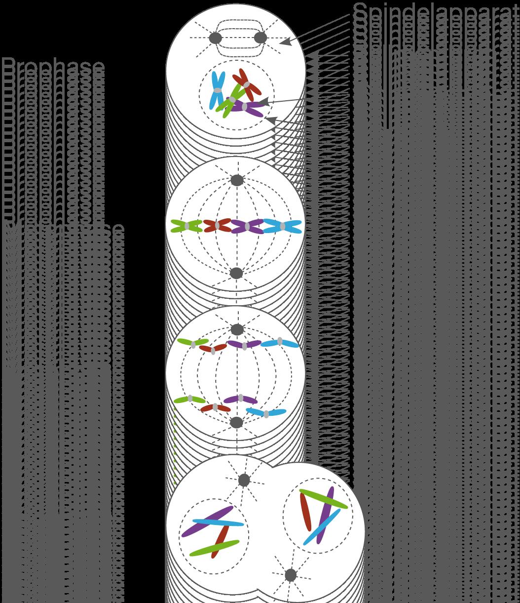 Die Zelle: Chromosomen und Mitose