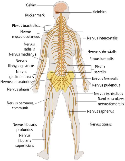 Nervensystem: Nervenzellen