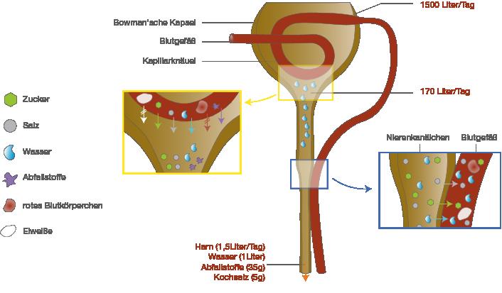 Verdauung: Ausscheidung über die Niere