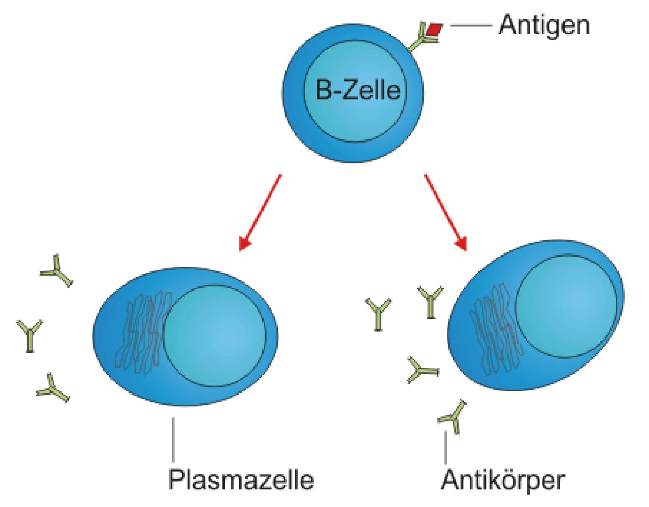 Die Milz - Physiologie - Bio - Digitales Schulbuch - Skripte ...