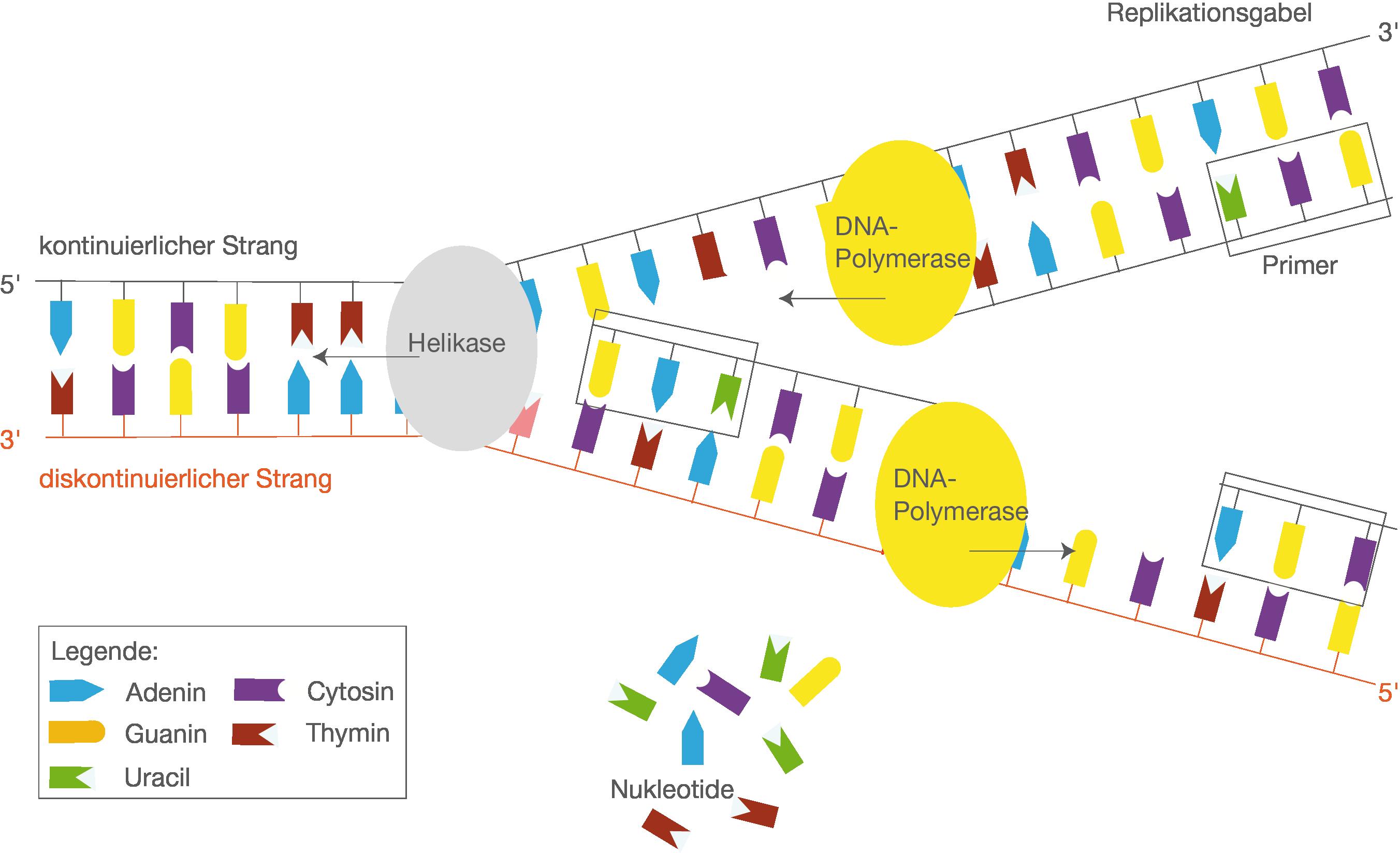 Proteinbiosynthese - SchulLV.de