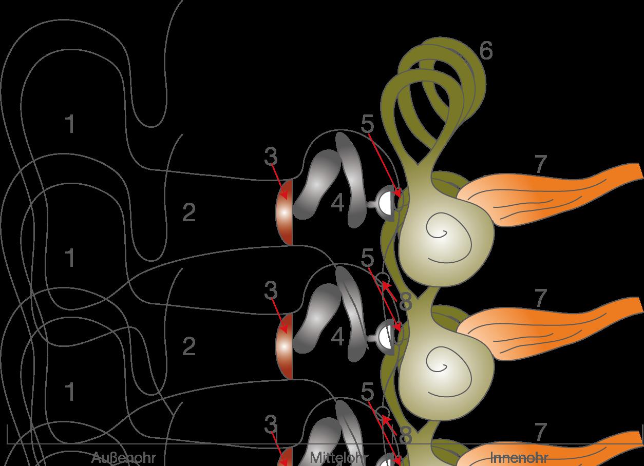 Sinnesorgane: Das Ohr