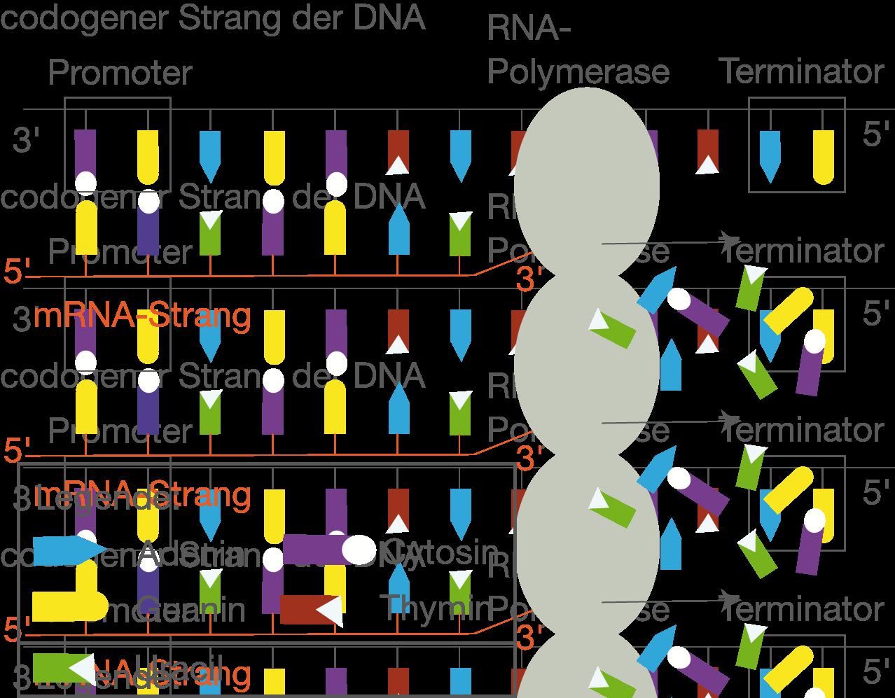 Proteinbiosynthese - Genetik - Bio - Digitales Schulbuch - Skripte ...
