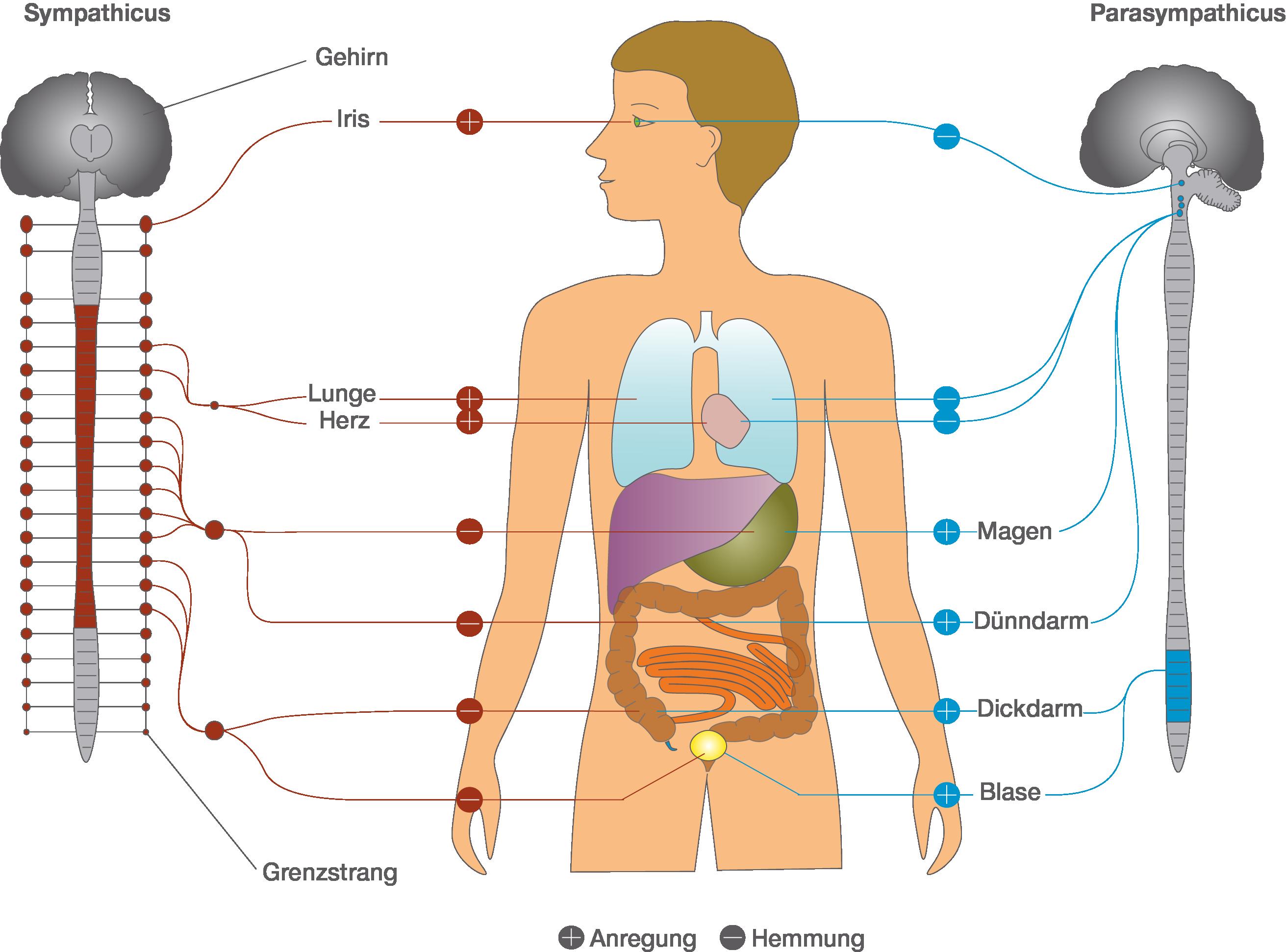 Nervensystem: Vegetatives Nervensystem