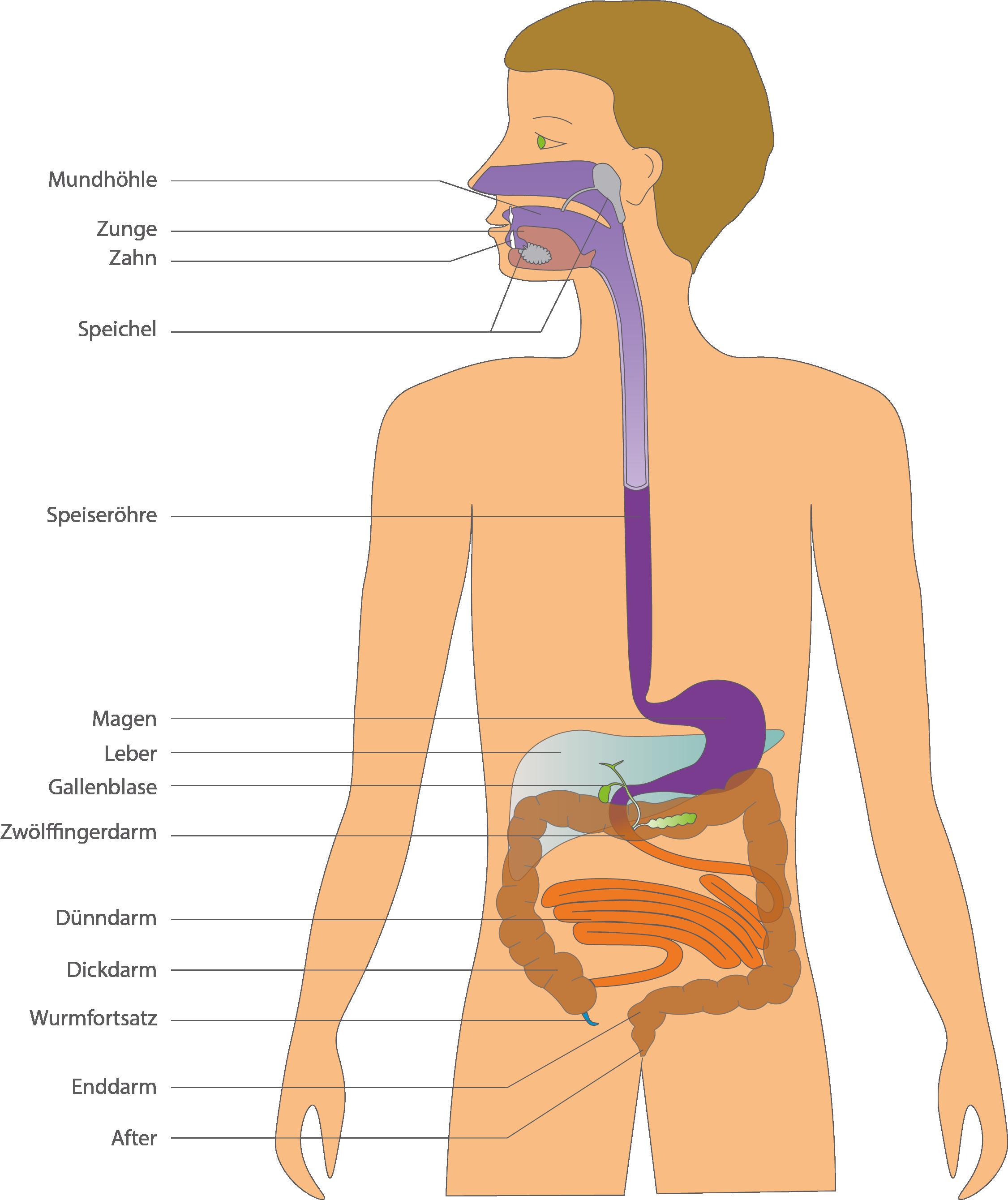 Verdauungsorgane - Verdauung - Bio - Digitales Schulbuch - Skripte ...