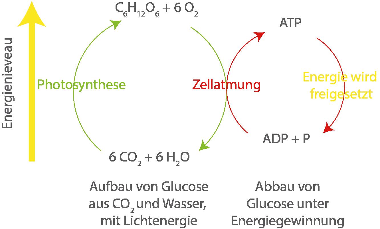 Die Zelle: Photosynthese und Zellatmung