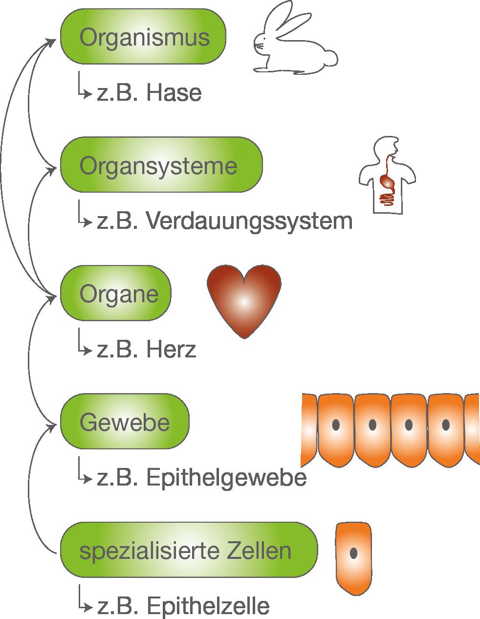 Die Zelle: Gewebe und Organe