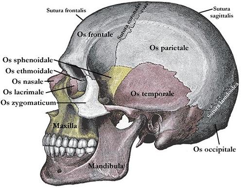 Organe: Das Gehirn