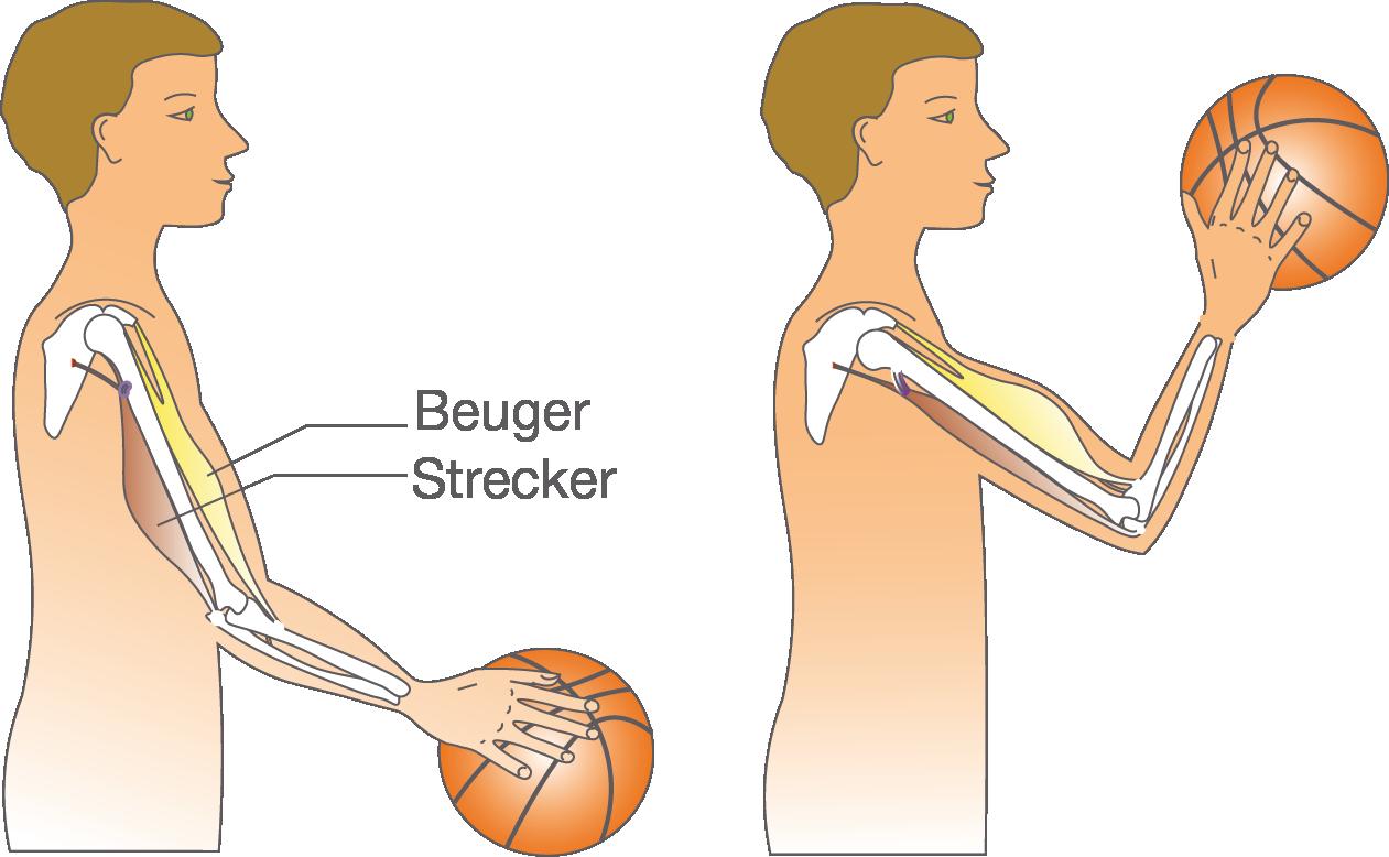 Körperaufbau: Skelett und Muskulatur