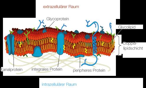 Cytologie: Organellen